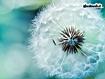 Sfondo: Dandelion