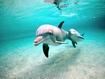 Sfondo: Delfini in coppia
