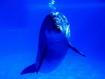 Sfondo: Delfino