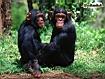 Sfondo: Due scimpanzè