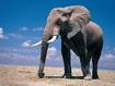 Sfondo: Elefante