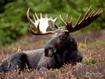 Sfondo: Elk