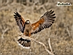 Sfondo: Falco in volo
