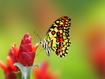 Sfondo: Farfalla sul fiore