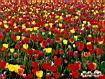 Tulipani misti
