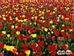 Sfondo: Tulipani misti