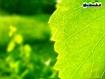 Sfondo: Foglia Verde