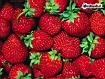 Sfondo: Composizione fragole
