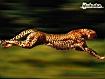 Sfondo: Ghepardo a caccia