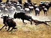 Sfondo: A caccia di Gnu