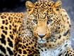 Sfondo: Giovane Leopardo