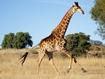 Sfondo: Giraffa