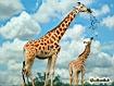 Sfondo: Giraffe