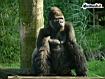 Sfondo: Gorilla a riposo