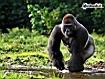 Sfondo: Gorilla