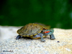 Sfondo: Green Turtle