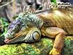 Sfondo: Iguana