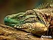 Sfondo: Iguana Face