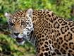 Sfondo: Giaguaro