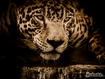 Sfondo: Jaguar Jaguar Eyes