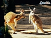 Sfondo: Kangaroo