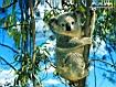 Sfondo: Koala