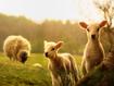 Sfondo: Lambs