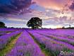 Sfondo: Lavender Field