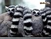 Sfondo: Lemuri