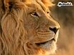 Sfondo: Lion Profile