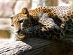Sfondo: Leopardo