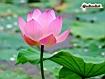 Sfondo: Fiore di loto