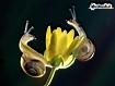 Sfondo: Lumache sul fiore