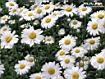 Sfondo: Margherite fiorite