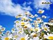 Sfondo: Margherite in fiore
