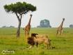 Sfondo: Masai Mara