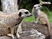 Sfondo: Meerkat