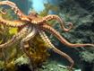 Sfondo: Octopus