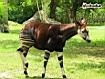 Sfondo: Okapi