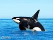 Sfondo: Orca