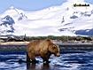 Orso a caccia