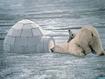 Sfondo: Orso Polare