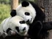 Sfondo: Coppia di panda