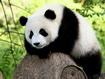 Sfondo: Panda