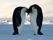 Sfondo: Bacio tra pinguini