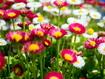 Sfondo: Pink Daisies