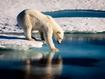 Sfondo: Polar Bear