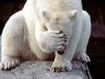 Polar Bear Funny