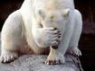 Sfondo: Polar Bear Funny