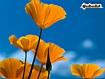 Sfondo: Poppies